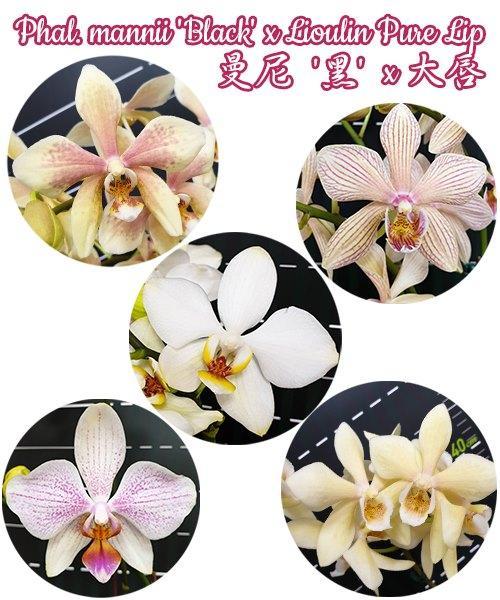 """Орхидея азиатская. Под Заказ! Phal. mannii """"Black"""" × Lioulin Pure Lip. Размер: 3.5""""."""