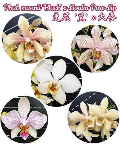 "Орхидея азиатская. Под Заказ! Phal. mannii ""Black"" × Lioulin Pure Lip. Размер: 3.5""., фото 2"