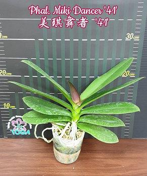 """Орхидея азиатская. Под Заказ! Phal. Miki Dancer """"41"""". Размер: не указан., фото 2"""