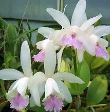 Орхидея азиатская. Под Заказ! C.intermedia f. (suave x orlata). Размер: не указан.
