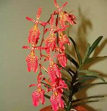 Орхидея азиатская. Под Заказ! Ren.citrina x Ren.imshootiana. Размер: не указан.