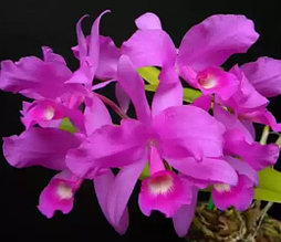 Орхидея азиатская. Под Заказ! C.skinneri x sib. Размер: не указан.