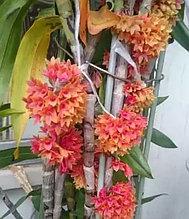 Орхидея азиатская. Под Заказ! Den.usitae. Размер: не указан.
