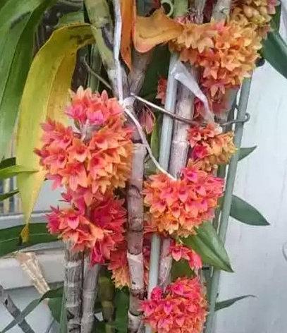 Орхидея азиатская. Под Заказ! Den.usitae. Размер: не указан., фото 2
