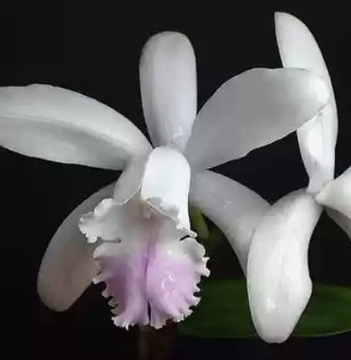 Орхидея азиатская. Под Заказ! C.intermedia f. (suave x lilasina). Размер: не указан.