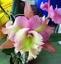 Орхидея азиатская. Под Заказ! B.digbyana x C.Pink Jaguar. Размер: не указан.