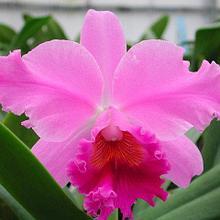 Орхидея Каттлея (C.)