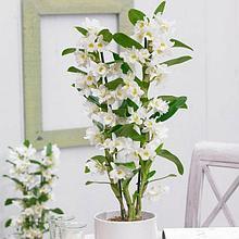 Орхидея Дендробиум (Den.)
