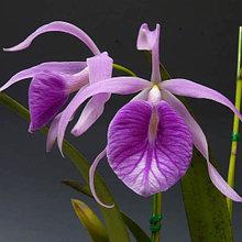 Орхидея Брассолаелия (Bl.)