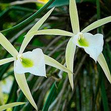 Орхидея Брассавола (B.)