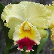 Орхидея Брассолелиокаттлея (Blc.)