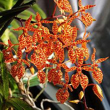 Орхидея Ренантера (Ren.)