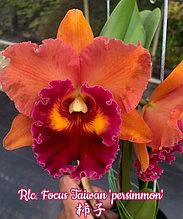 """Орхидея азиатская. Под Заказ! Rlc. Focus Taiwan """"persimmon"""". Размер: 3.5""""."""