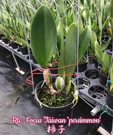 "Орхидея азиатская. Под Заказ! Rlc. Focus Taiwan ""persimmon"". Размер: 3.5""., фото 2"