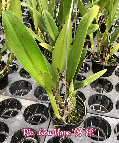 "Орхидея азиатская. Под Заказ! Rlc. Liou Hope. Размер: 3.5""., фото 2"