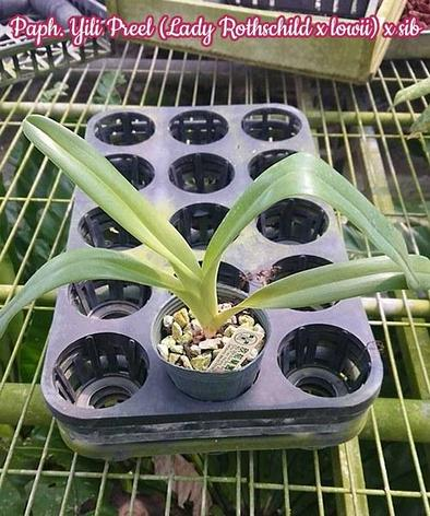 "Орхидея азиатская. Под Заказ! Paph. Yili Preel (Lady Rothschild × lowii) × sib. Размер: 2.5""., фото 2"
