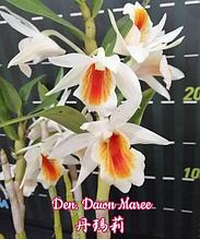 "Орхидея азиатская. Под Заказ! Den. Dawn Maree. Размер: 2.5""."
