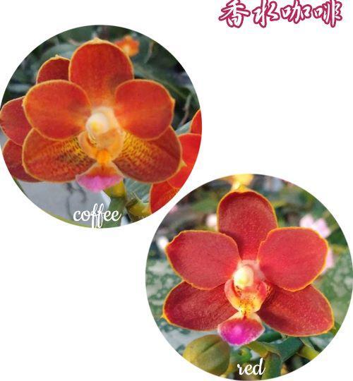 """Орхидея азиатская. Под Заказ! Phal. Yaphon Perfume """"coffee red"""". Размер: 2.5""""."""
