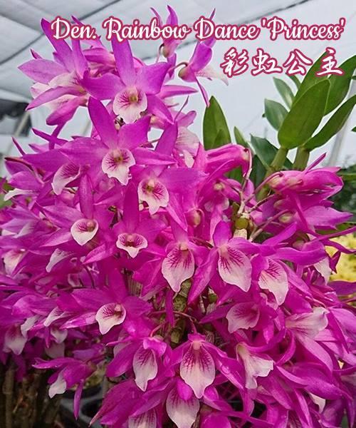"Орхидея азиатская. Под Заказ! Den. Rainbow Dance ""Princess"". Размер: не указан."