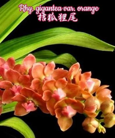 Орхидея азиатская. Под Заказ! Rhy. gigantea var. orange. Размер: не указан., фото 2