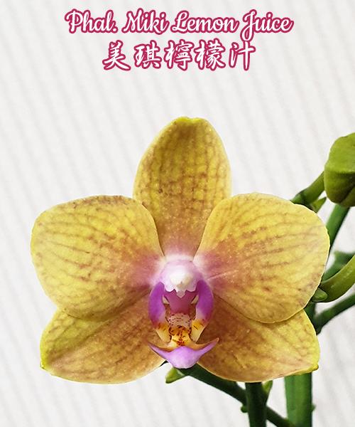 Орхидея азиатская. Под Заказ! Phal. Miki Lemon Juice. Размер: не указан.