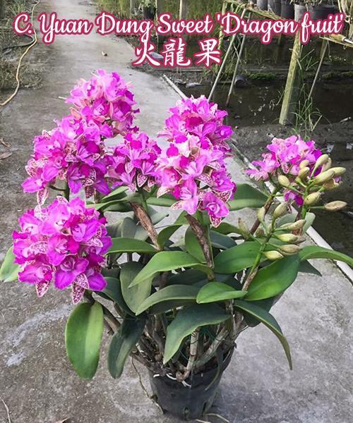 "Орхидея азиатская. Под Заказ! C. Yuan Dung Sweet ""Dragon fruit"". Размер: 4""."