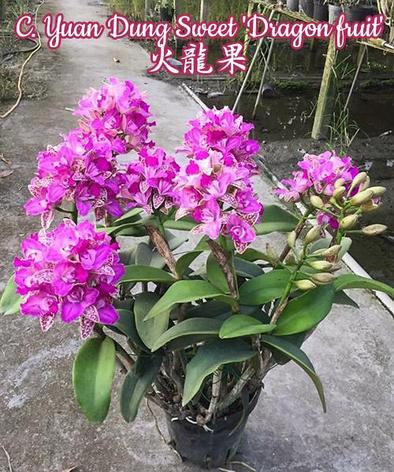 "Орхидея азиатская. Под Заказ! C. Yuan Dung Sweet ""Dragon fruit"". Размер: 4""., фото 2"