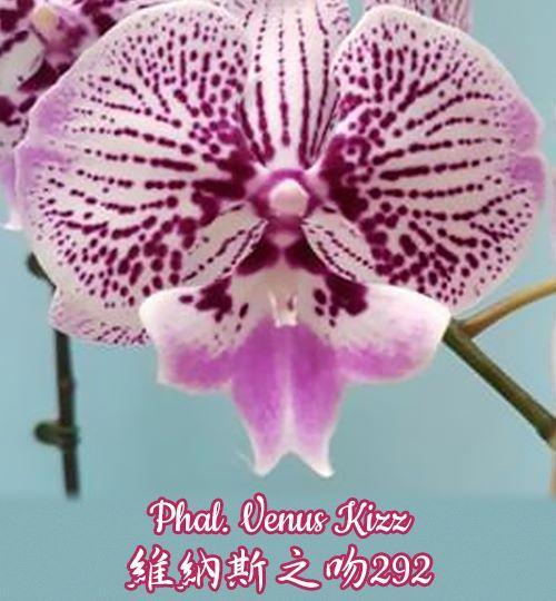 Орхидея азиатская. Под Заказ! Phal. Venus Kizz. Размер: не указан.