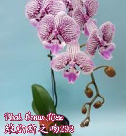Орхидея азиатская. Под Заказ! Phal. Venus Kizz. Размер: не указан., фото 2