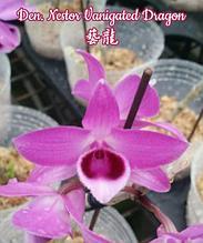 """Орхидея азиатская. Под Заказ! Den. Nestor Vanigated Dragon. Размер: 2""""."""