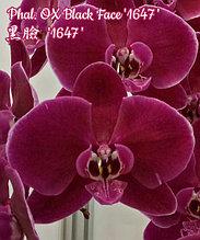 """Орхидея азиатская. Под Заказ! Den. Phal. OX Black Face """"1647"""". Размер: 2.5"""" / 3.5""""."""