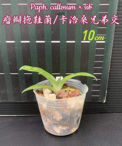 "Орхидея азиатская. Под Заказ! Paph. callosum × sib. Размер: 2.5""., фото 2"