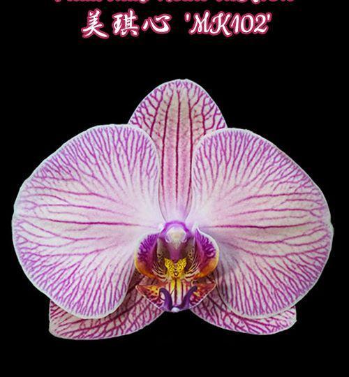 """Орхидея азиатская. Под Заказ! Phal. Miki Heart """"MK102"""". Размер: 2.5""""."""