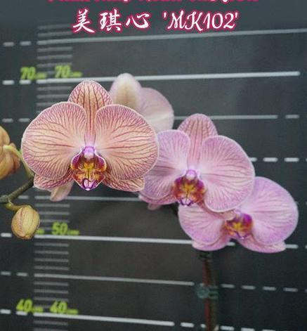 """Орхидея азиатская. Под Заказ! Phal. Miki Heart """"MK102"""". Размер: 2.5""""., фото 2"""