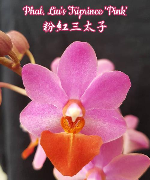 """Орхидея азиатская. Под Заказ! Phal. Liu's Triprince """"pink"""". Размер: 1.7""""."""