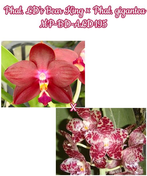 Орхидея азиатская. Под Заказ! Phal. LD's Bear King × Phal. gigantea MP-BD-ALD195. Размер: не указан.