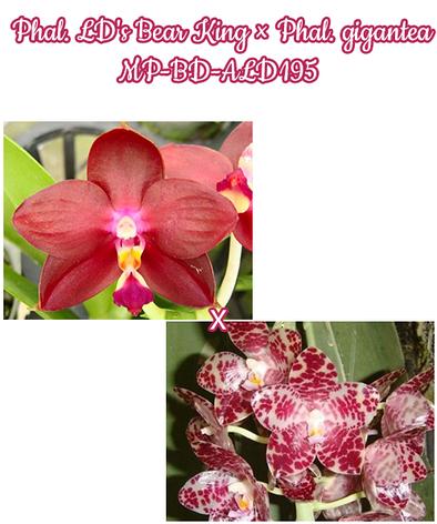Орхидея азиатская. Под Заказ! Phal. LD's Bear King × Phal. gigantea MP-BD-ALD195. Размер: не указан., фото 2