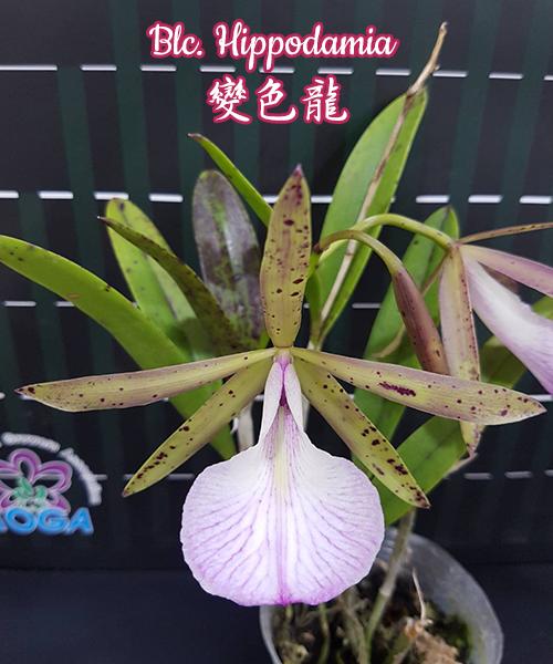 """Орхидея азиатская. Под Заказ! Blc. Hippodamia. Размер: 2.5""""."""