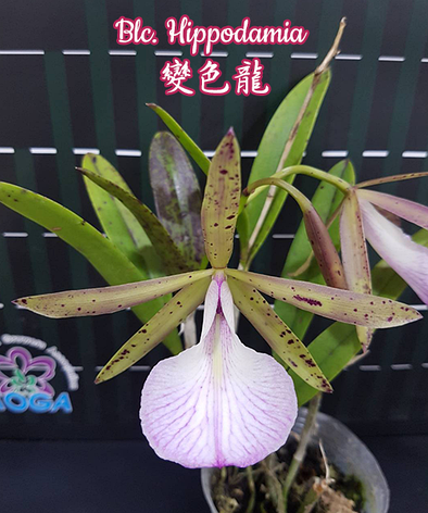 "Орхидея азиатская. Под Заказ! Blc. Hippodamia. Размер: 2.5""., фото 2"