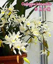 "Орхидея азиатская. Под Заказ! Coelogyne intermedia. Размер: 3""."