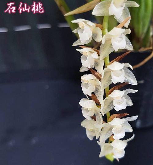 "Орхидея азиатская. Под Заказ! Pholidota chinensis. Размер: 3""."