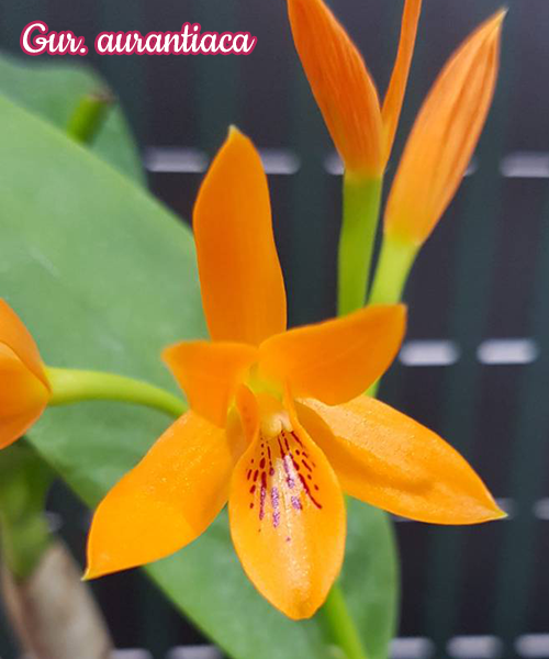 """Орхидея азиатская. Под Заказ! Gur. aurantiaca. Размер: 2.5""""."""