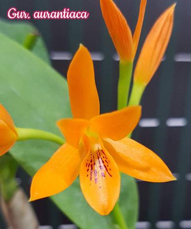 """Орхидея азиатская. Под Заказ! Gur. aurantiaca. Размер: 2.5""""., фото 2"""