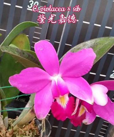 """Орхидея азиатская. Под Заказ! C. violacea × sib. Размер: 2.5""""., фото 2"""