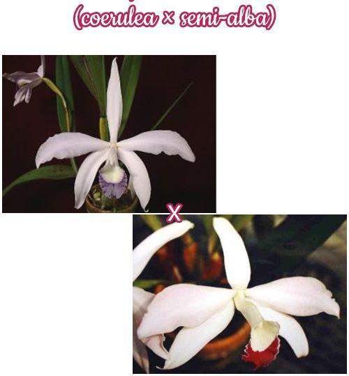 "Орхидея азиатская. Под Заказ! L. perrinii × sib (coerulea × semi-alba). Размер: 2.5""."