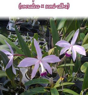 """Орхидея азиатская. Под Заказ! L. perrinii × sib (coerulea × semi-alba). Размер: 2.5""""., фото 2"""