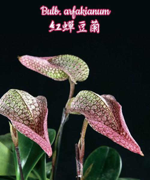 "Орхидея азиатская. Под Заказ! Bulb. arfakianum. Размер: 2.5""."