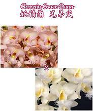 """Орхидея азиатская. Под Заказ! Clowesia Grace Dunn. Размер: 2.5""""."""