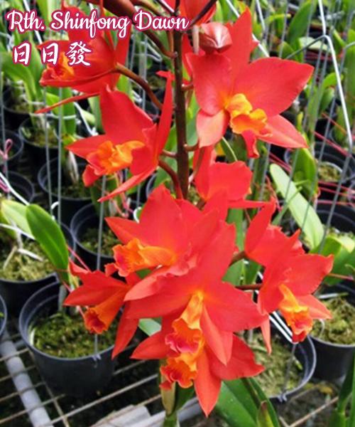 Орхидея азиатская. Под Заказ! Rth. Shinfong Dawn. Размер: не указан.