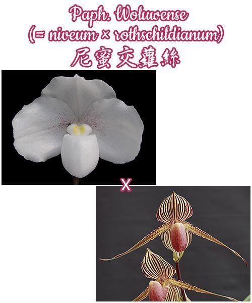 "Орхидея азиатская. Под Заказ! Paph. Woluwense (niveum × rothschildianum). Размер: 3""."